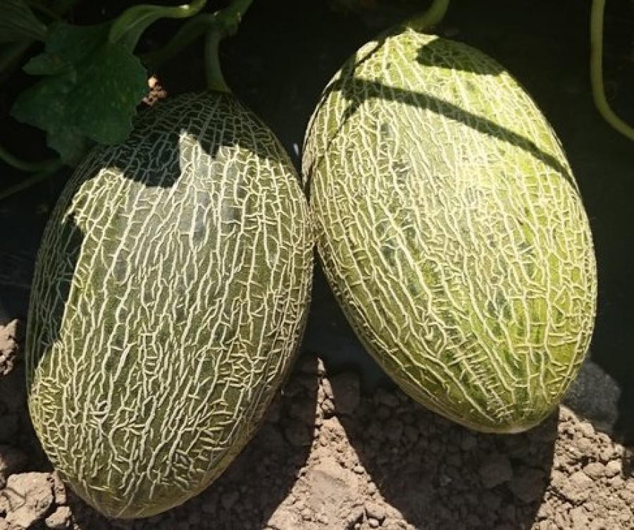 Agenzia prodotti per l 39 agricoltura for Melone coltivazione